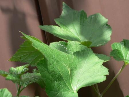 曾錚家12月23日發現之 優曇婆羅花 ,生長於花葉上(攝影:曾妮/大紀元)。