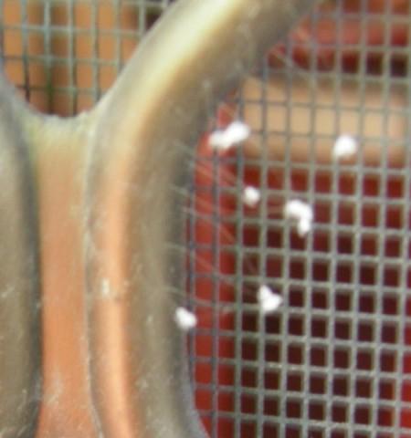 悉尼廣告銷售員莉莉‧周家出現的優曇婆羅花,長於防盜門上(莉莉‧周提供)。