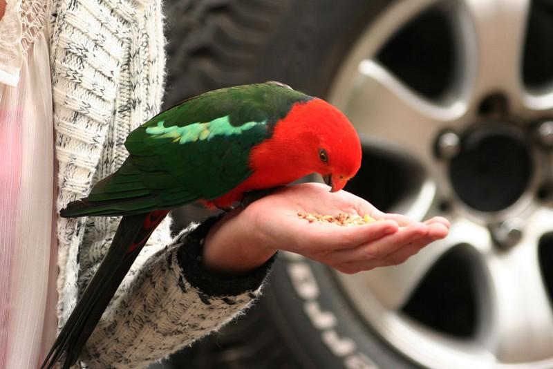 無論誰的手一伸,鸚鵡就跳上去找吃的