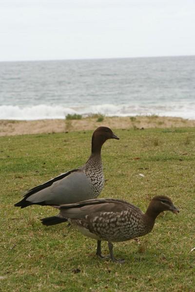 Pebbly海灘上不知名的野禽