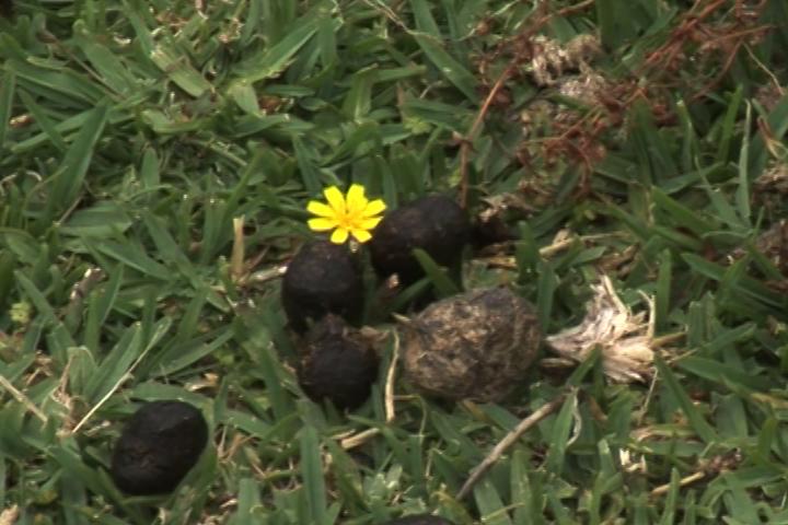 鮮花插在袋鼠糞上