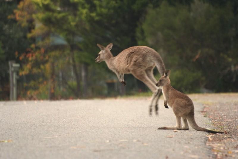袋鼠跳過馬路