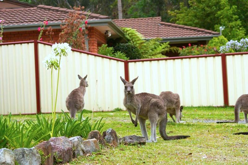 花園中的袋鼠群