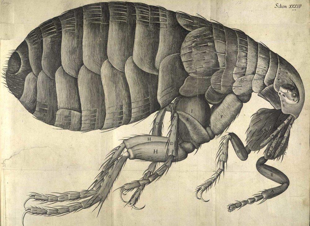 La pulga de Hooke