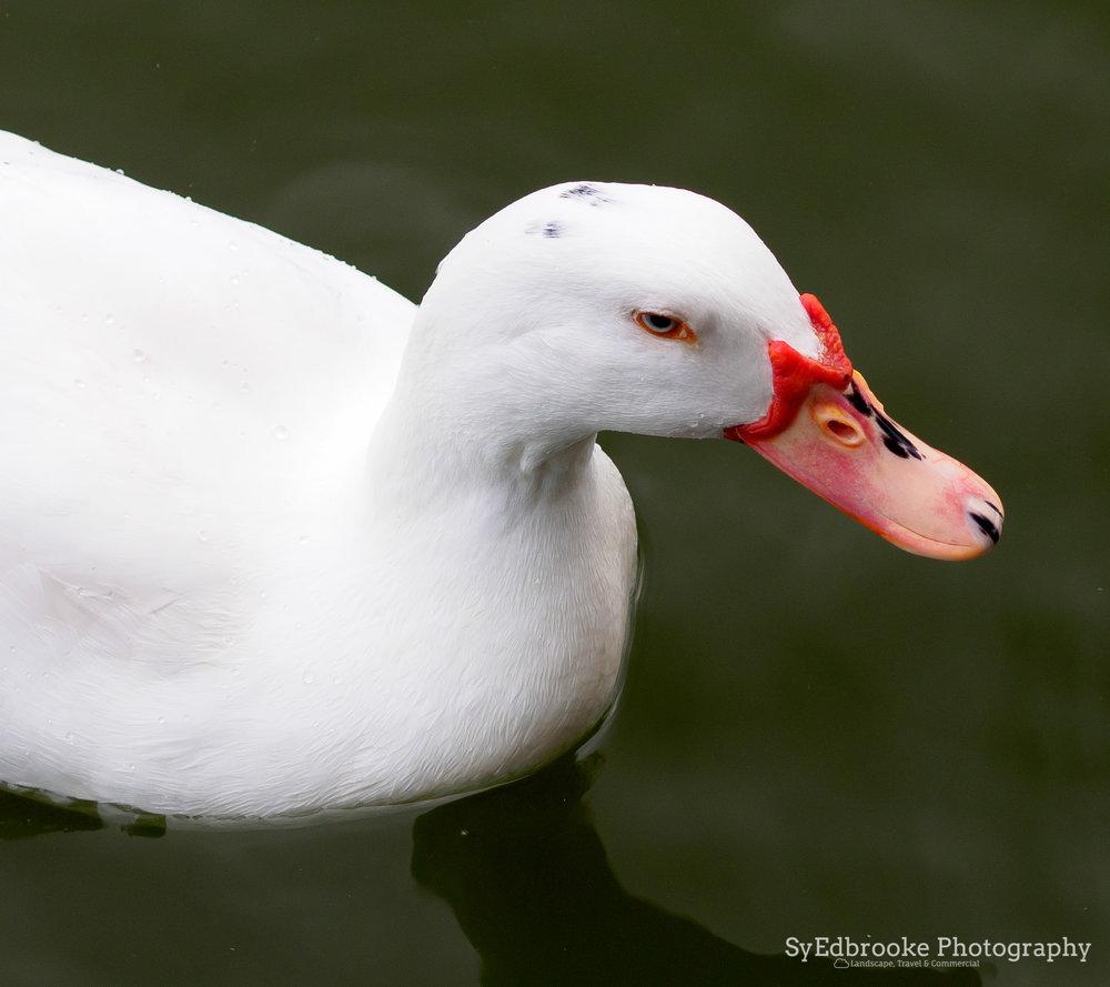 Ducky McDuckface. f4, ISO 200, 1/80, 150mm