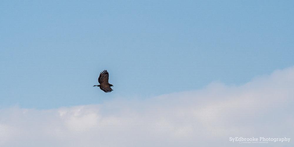 the wild hawk. f11, ISO 320, 1/320, 290mm