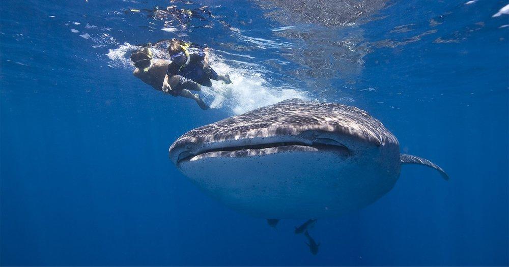 WhaleShark_Head_1470161423.jpg