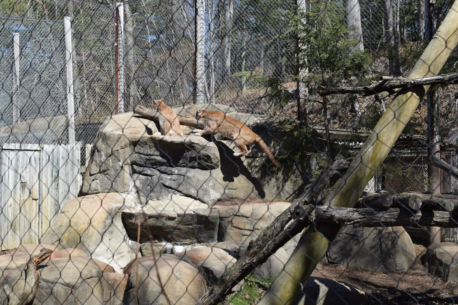 Big Cats at the WNC Nature Center