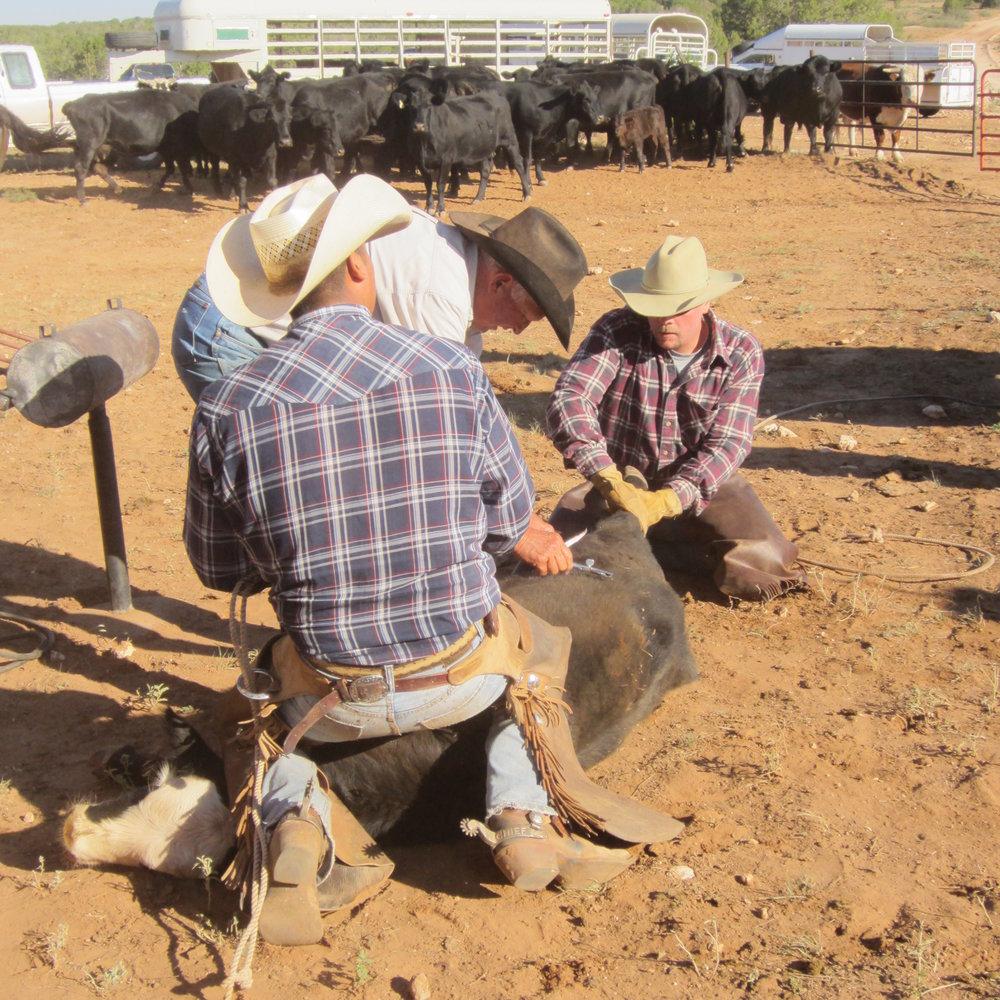 Rinderarbeit - Auf unserer Working Guest Ranch züchten wir Angus Cattle, welche auf den riesigen Weiden eine Freiheit genießen die man sich kaum vorstellen kann. Bei uns und auf den Nachbarranches wird die Arbeit mit Rindern noch traditionell von den Cowboys und Cowgirls zu Pferd erledigt. Das Treiben der Rinder von Weide zu Weide, das Branding, die Arbeit an den ca. 50 km Zäunen, die Landschaftspflege und die Pflege der ca. 40 km Trails unserer Gäste Ranch wird meistens zu Pferd gemacht. Wer mag, kann gern mit anpacken - Eure Mithilfe ist immer willkommen!