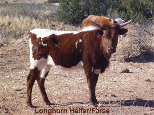 longhorn heifer_0.jpg