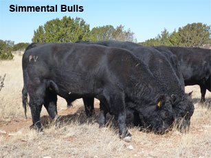 simmental bulls_0.jpg