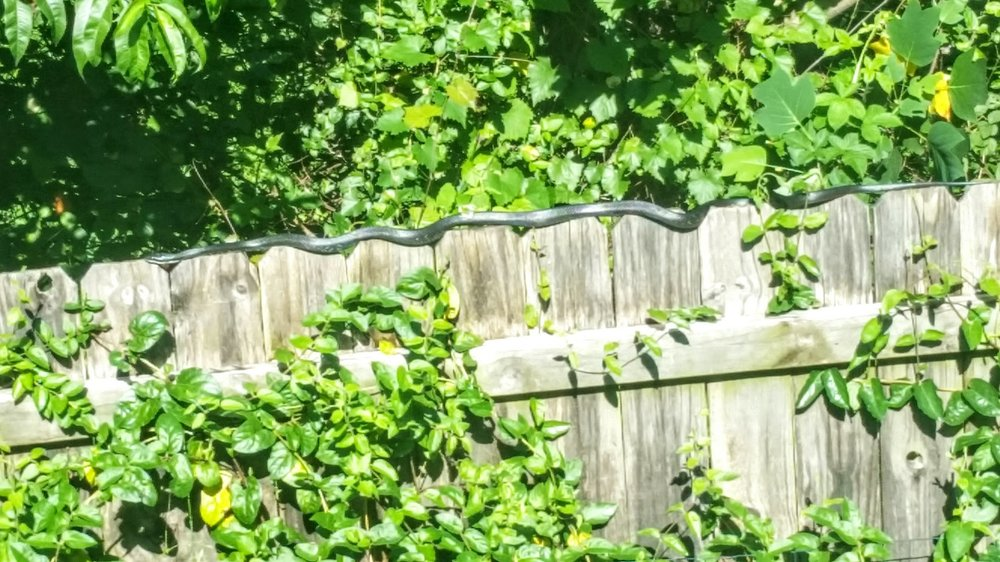 "And yes, that's a very long (54"" by our estimate), allegedly harmless (I didn't stay around to find out) black snake moving along the fence.  It was fascinating to watch (from a safe distance) it go from the grass up to and across the fence."