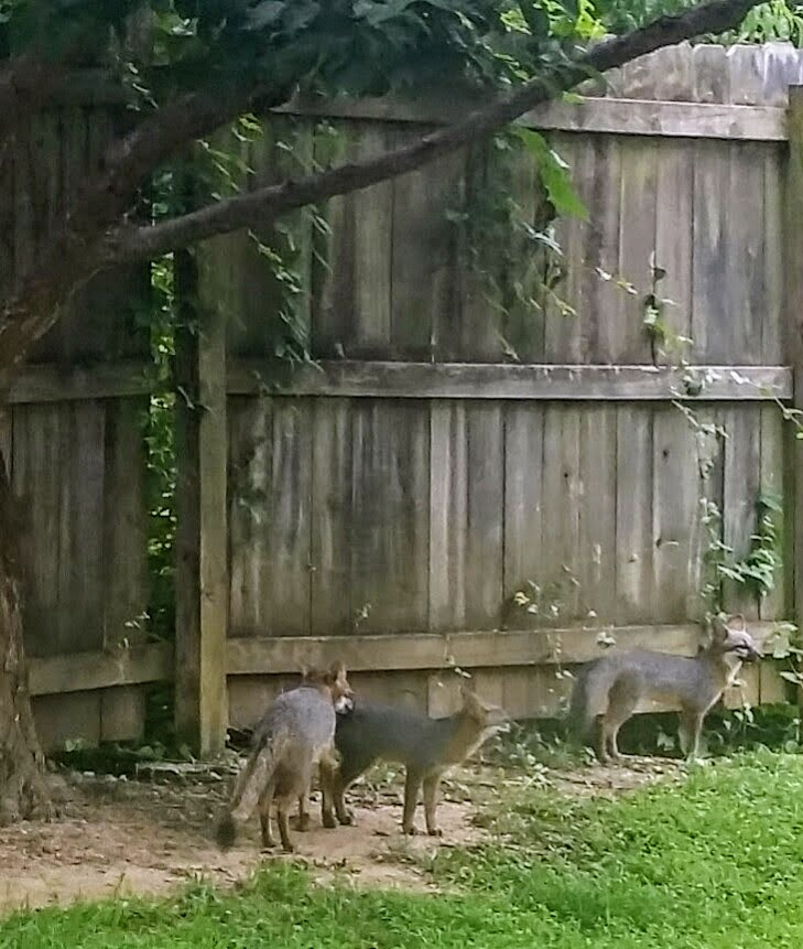 Fox siblings near the plum tree, about to go under the fence to the creek area below.