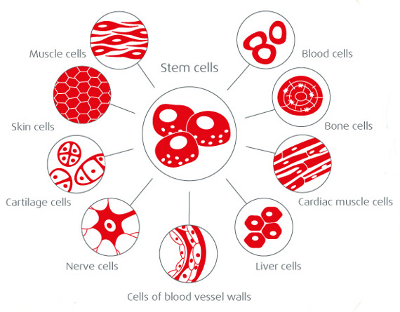 stem-cells-differrentiation.jpg