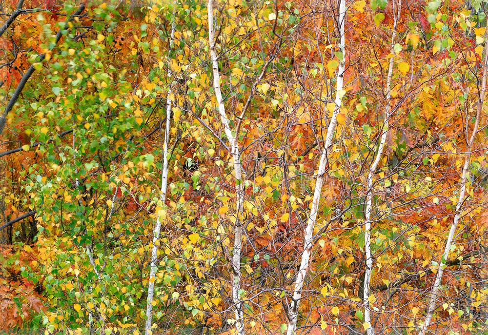 Fall Aspens, Acadia