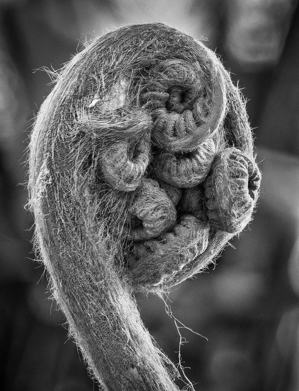 Cibotium glaucum (Hawaiian tree fern)