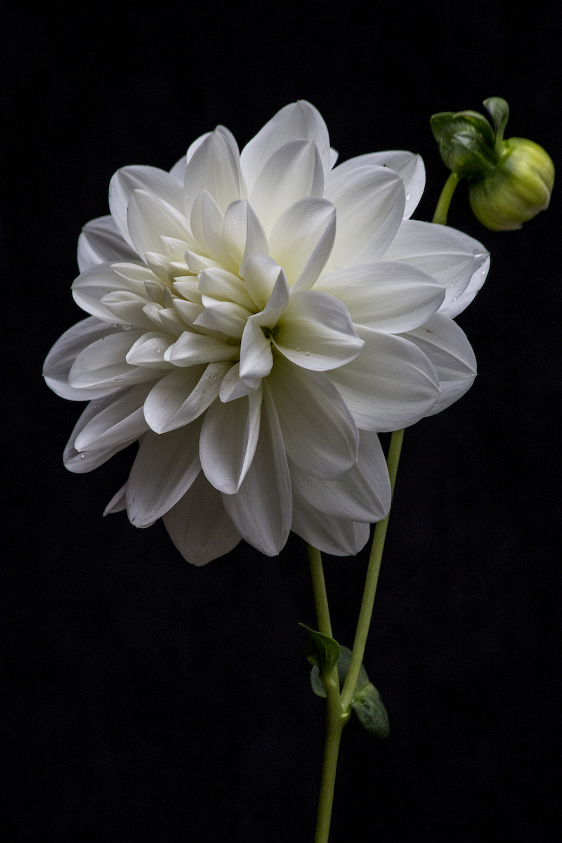 Bridezilla Dahlia on Black