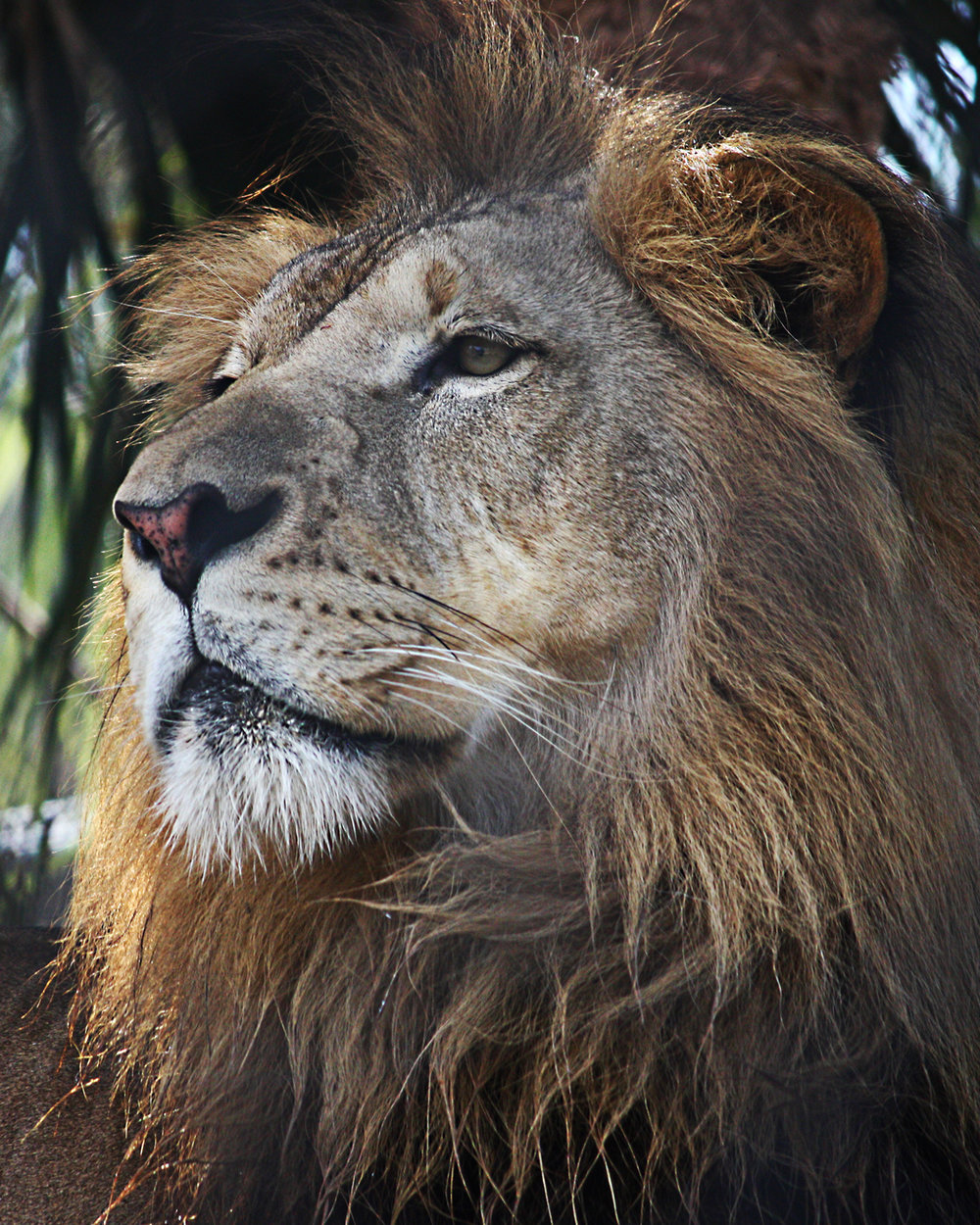 Naples Zoo lion
