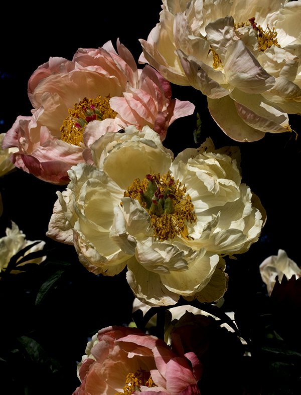 Peonies on Black