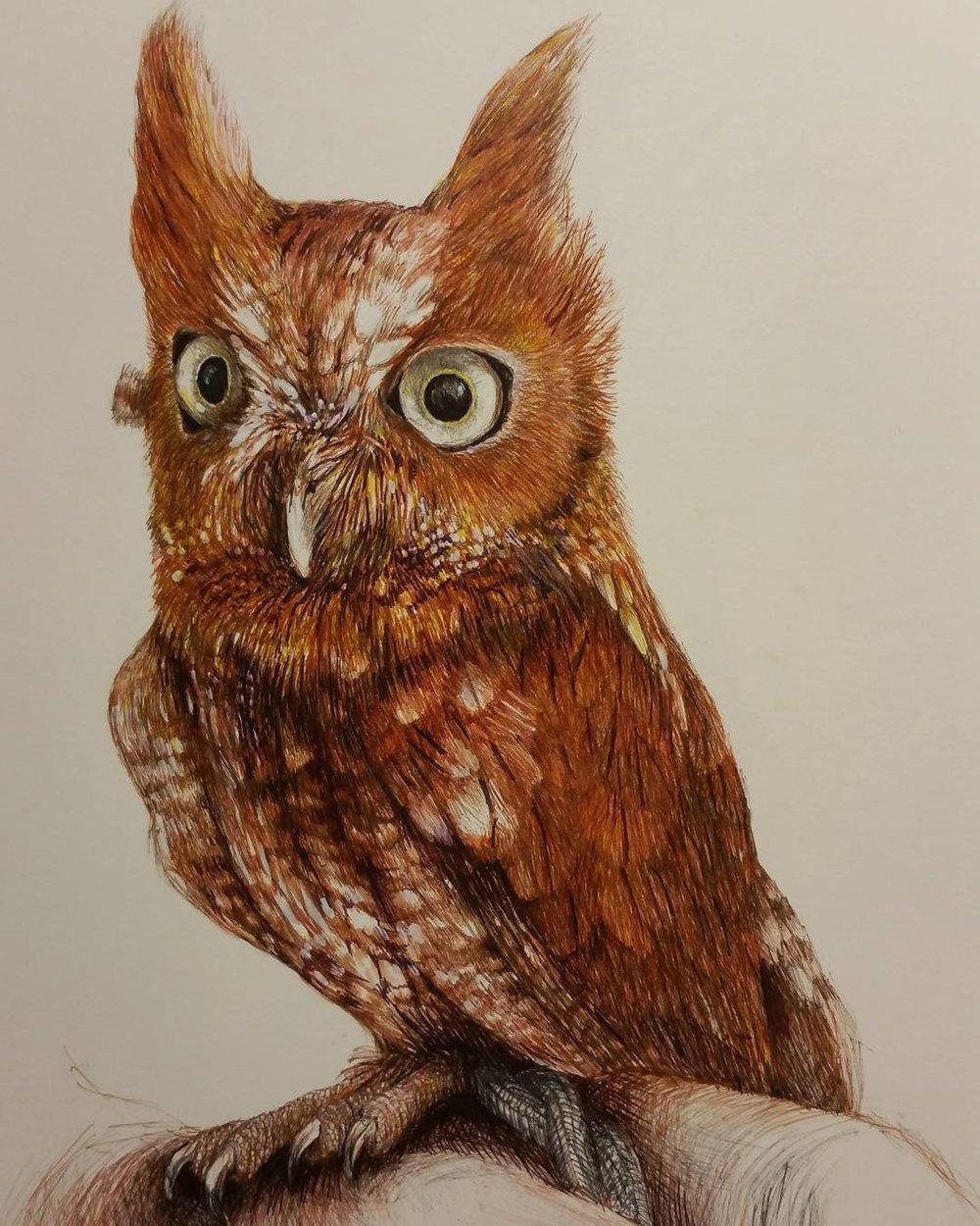 Monroe Screech Owl