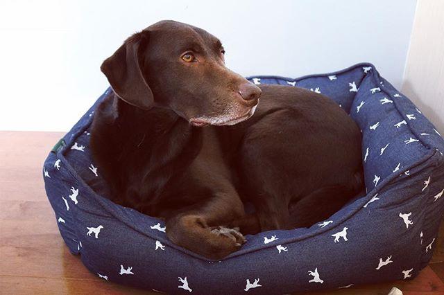 This guy is lovin' his new ultra plush bed from @homesensecanada 🐶 #dog #dogsofinstagram #lab #labsofinstagram #dogbed #spoileddog #lovingit #furbaby #chocolatelab #wiseone #greybeard #navybed #blog #blogger #parentblogger #yeg #yegdog #doglife
