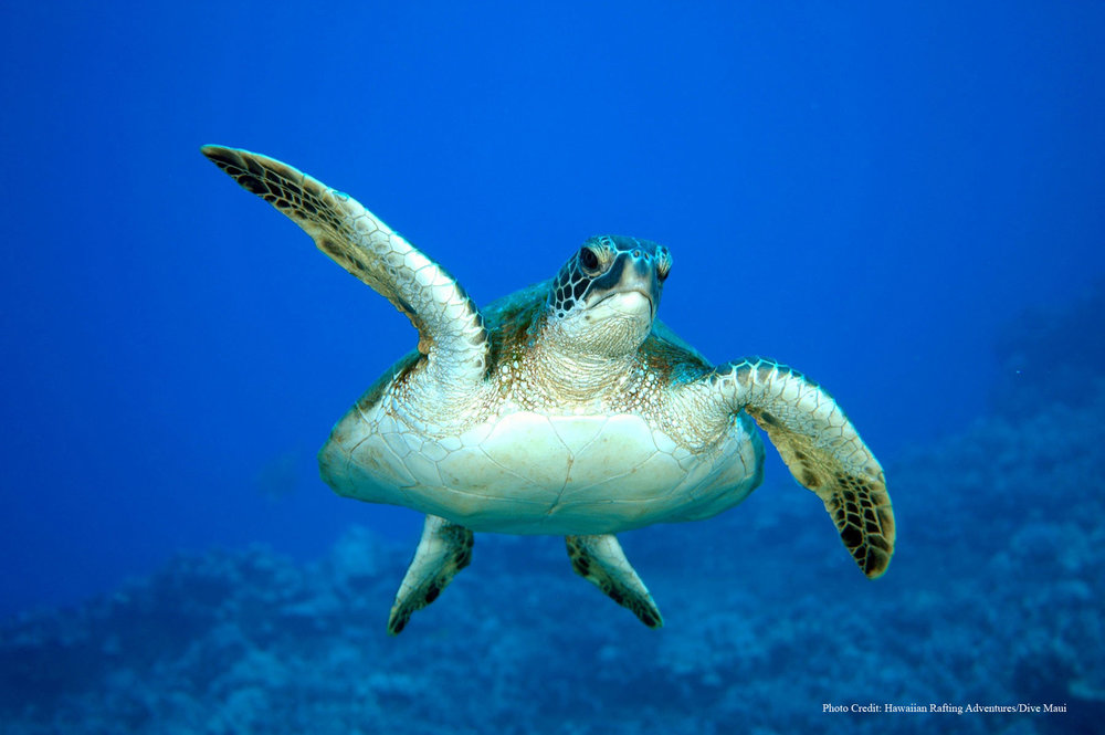 Green-Sea-Turtle - With Credit.jpg