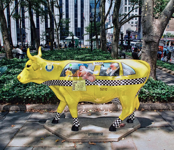 Taxi cow.   Photo credit: Allen Beatty