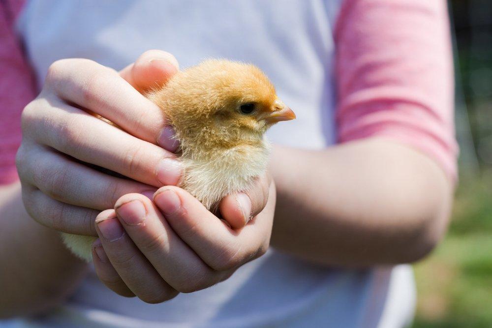 chick.pi.jpg