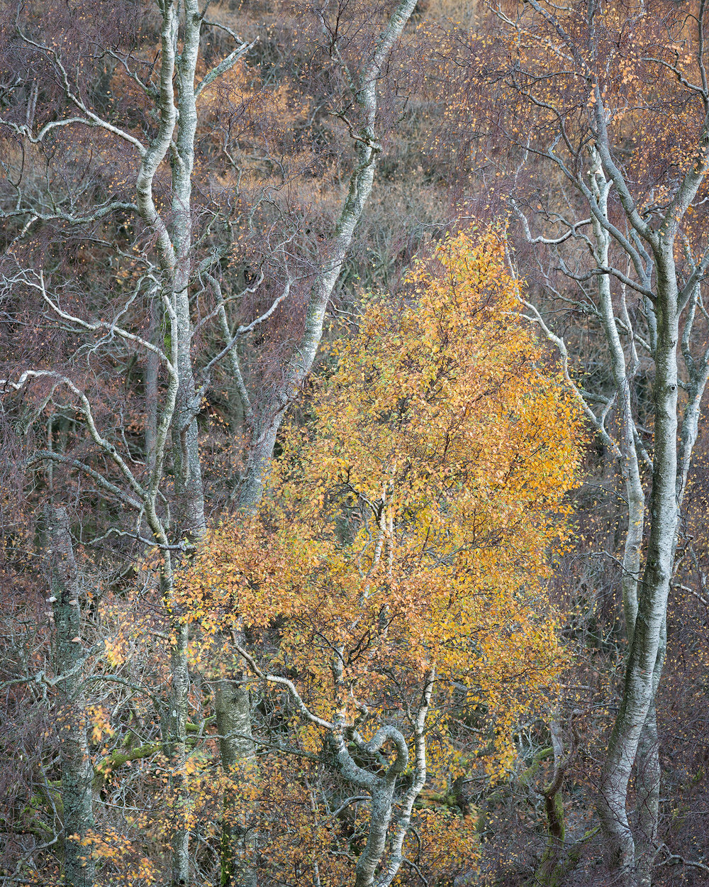 Sherpherds Crag Birch.jpg
