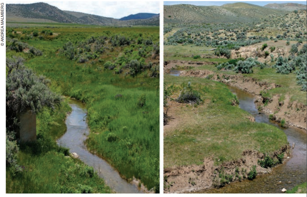 Same creek in a sagebrush steppe environment, taken the same day from a bridge. The left side is managed holistically, with a 250% higher stocking rate than the land on the right.