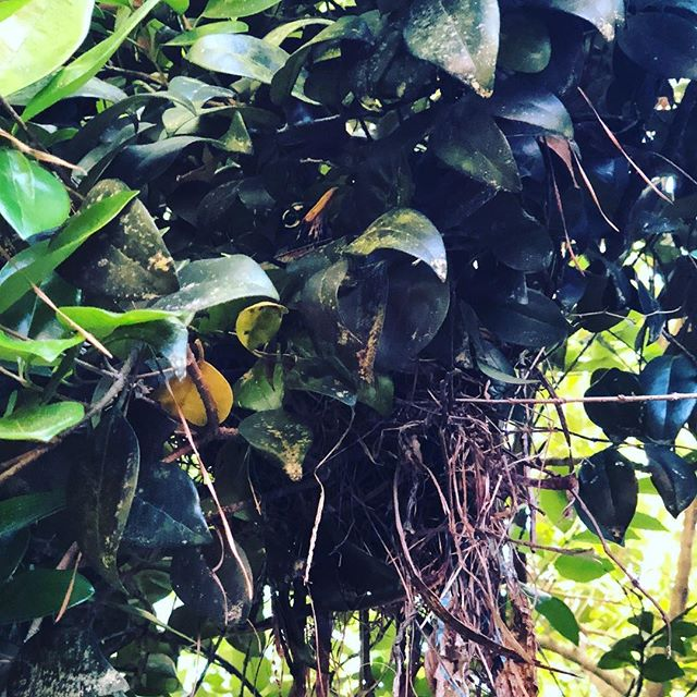 We have a bird nest in our front yard! Super cool. #nature #naturephotography #naturelovers #birdwatching #birds #bird