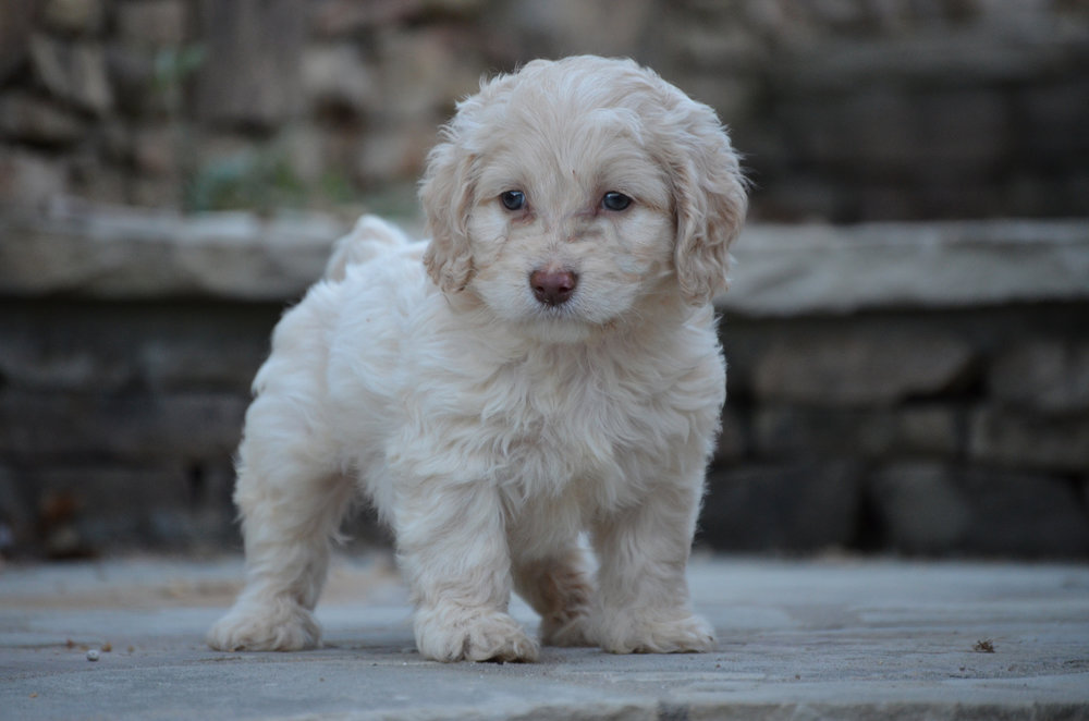 Cockapoo-puppy-for-sale