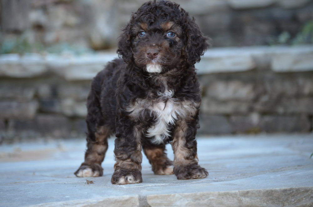 phantom-cockapoo-for-sale