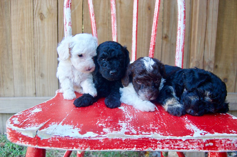 best-cockapoo-puppies-for-sale