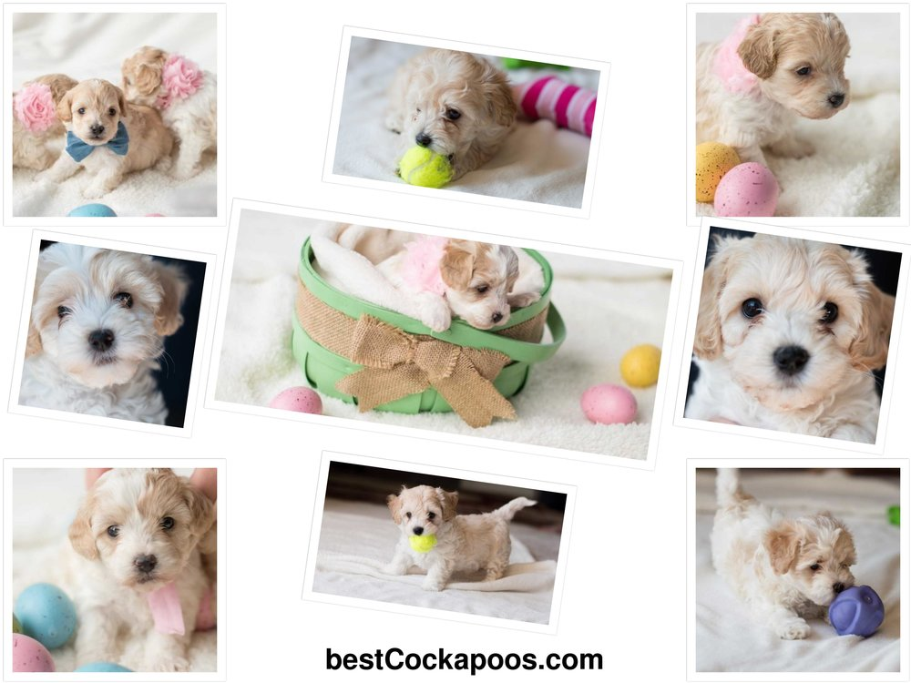 Cockapoo-puppies-for-sale.jpg
