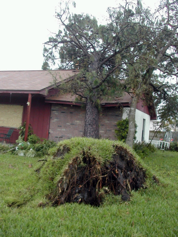 Hurricane damage to house in Florida, 2004.  This Tree may not look like much, but it actually did major damage to this house: the entire interior ceiling and insulation was knocked down and laying on the floor; the doors and windows did not shut properly - Even the cabinet and shower doors did not close properly. These are the classic signs of the house being knocked off its foundation by the force of the tree falling onto the house.  ©2004 Caryn Menches.