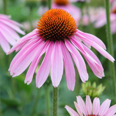 Echinacea-jpg.jpg