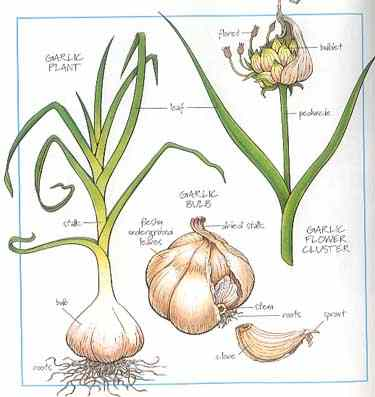 health-benefits-garlic.jpg
