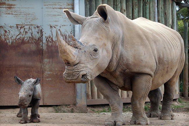 399686-baby-rhino-monarto-zoo1.jpg