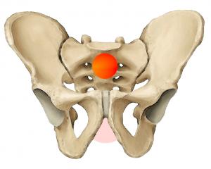 pelvis_cog_ant_yoga_anatomy1-300x240.png