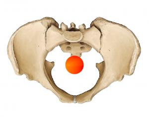 pelvis_cog_sup_yoga_anatomy1-300x236.png