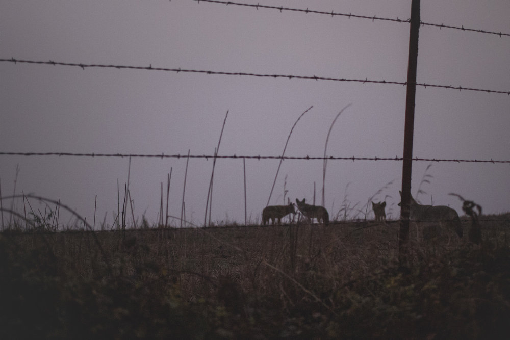 coyotes-at-dusk-point-reyes.jpg