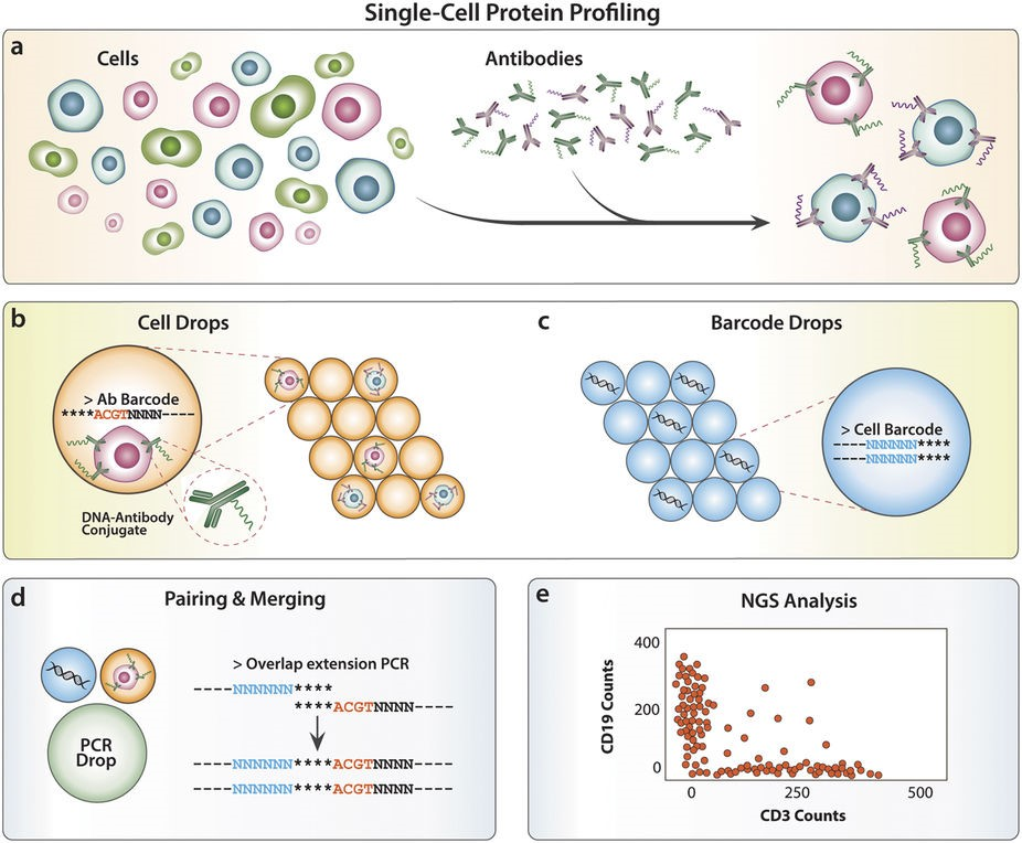 The Abseq experimental workflow for profiling single cells based on distinct cell surface proteins (from Shahi et al. 2017)