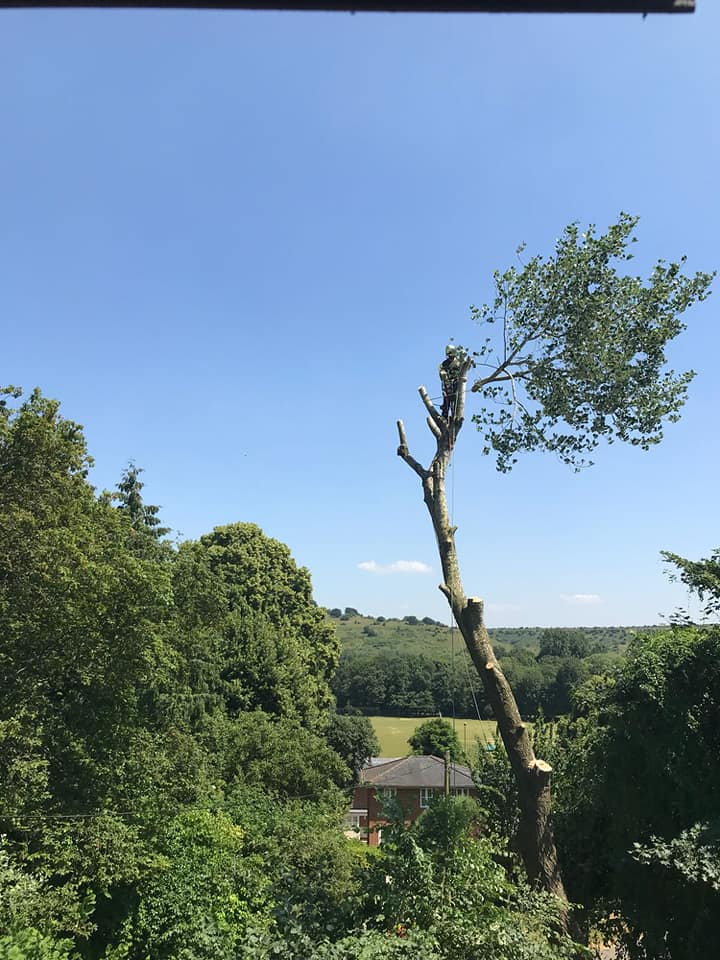 Dismantling a large dying Poplar Tree which had been deemed dangerous by the council in Winchester
