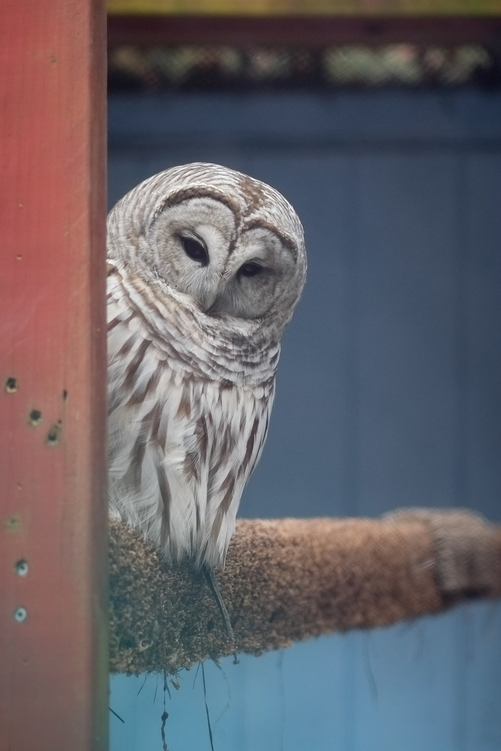 Raptor Trust-Barred Owl 2.jpg