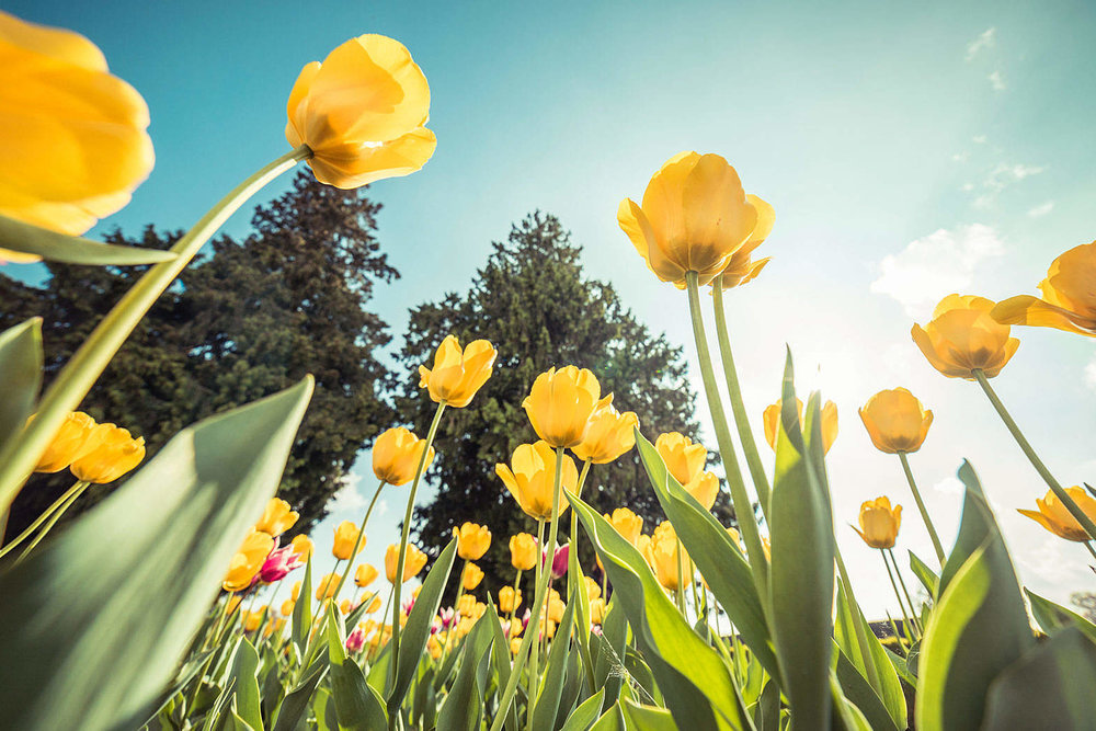 yellow-tulips-from-below-against-bright-sky_free_stock_photos_picjumbo_DSC04572-1570x1047.jpg