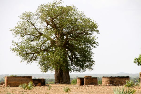A huge blooming Baobab tree stands as a simbol of hope that the roofless houses all around will one day be rebuilt-1