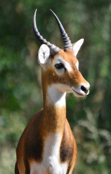 deer-creature