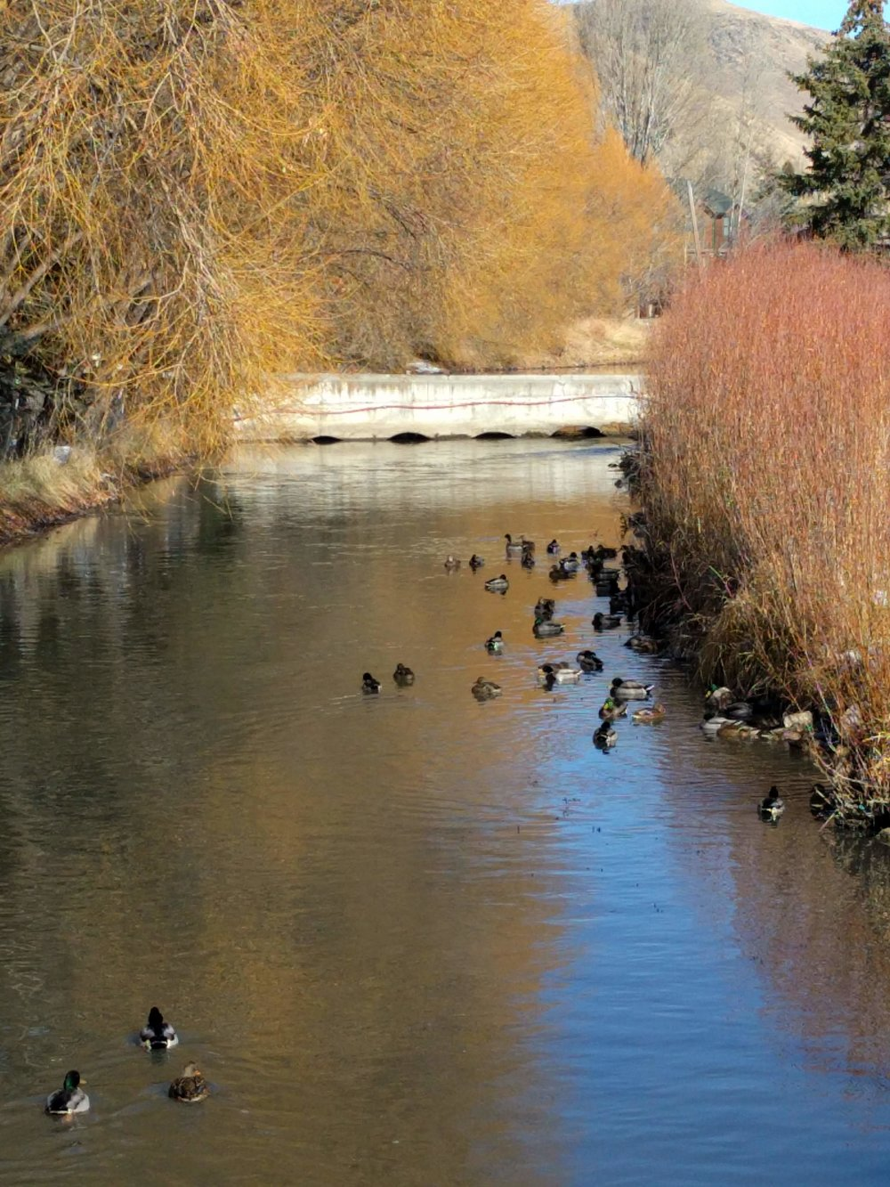 Ducks in Flat Creek