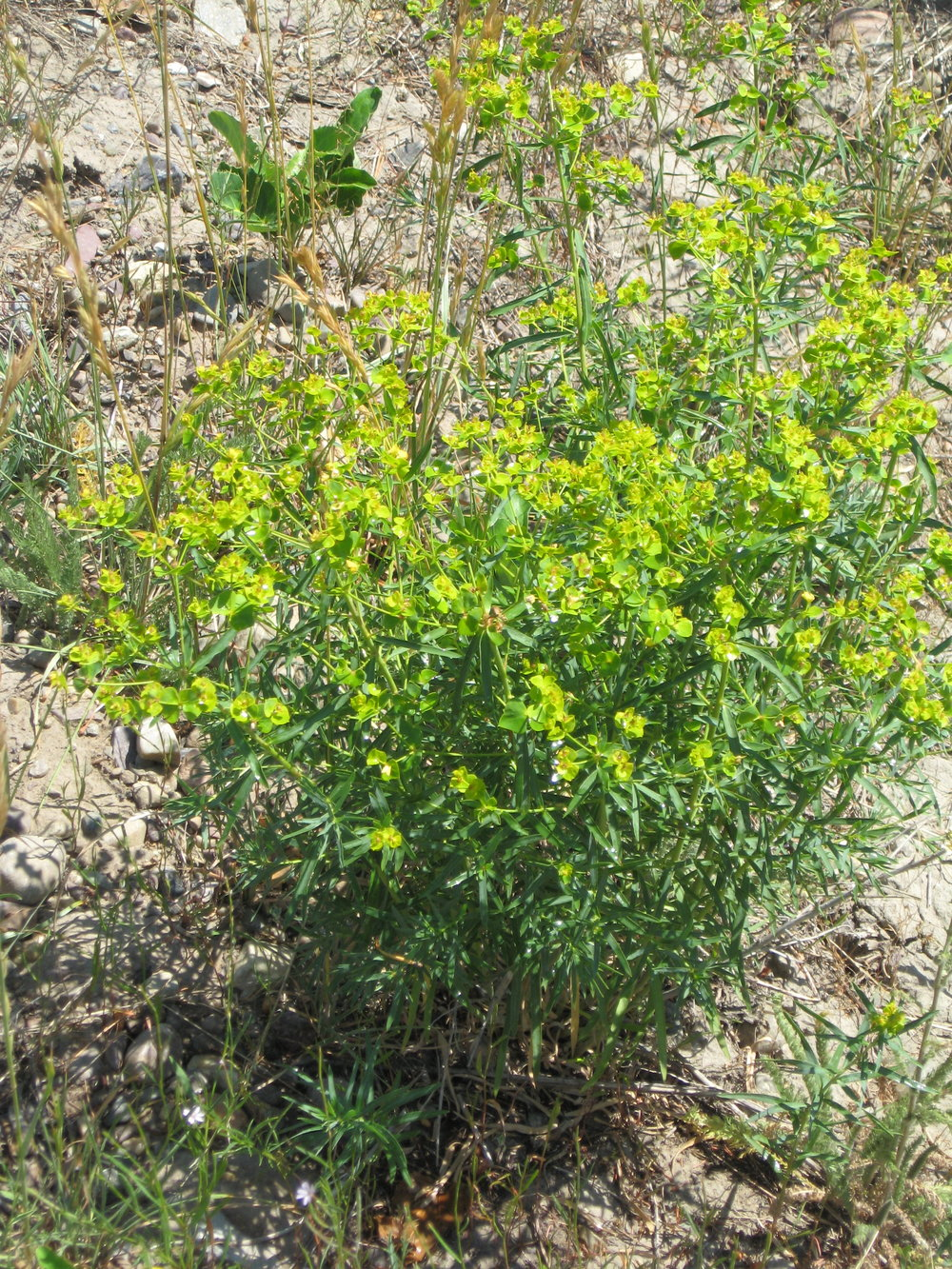 Leafy spurge that was identified and controlled with private landowner support